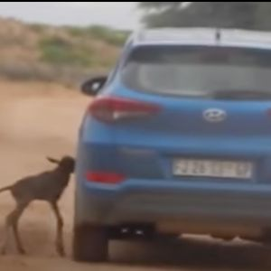 Wildebeest Thinks Car Is His Mom