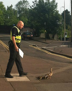 ducks cross road